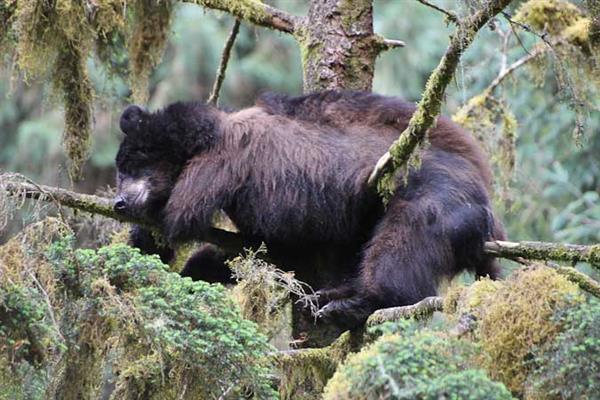 דב ישן באלסקה