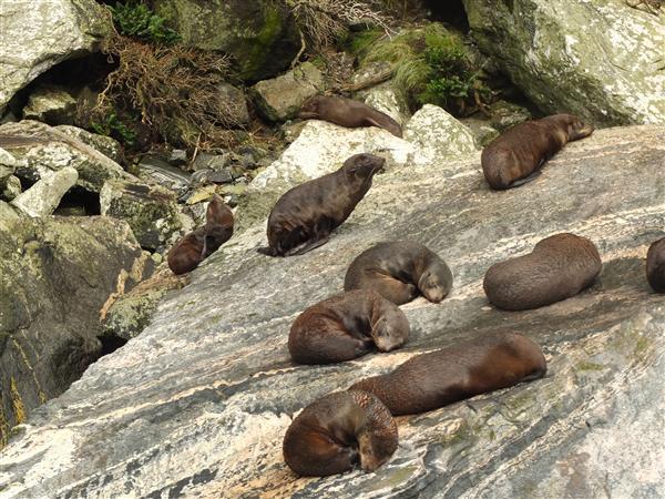 כלבי ים ישנים צהריים