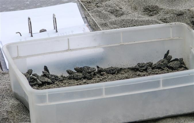 שימור צבים בקוסטה ריקה