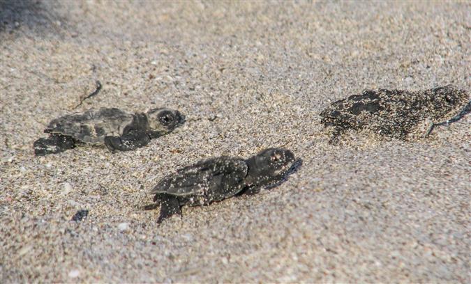 צבי ים שרק נולדו