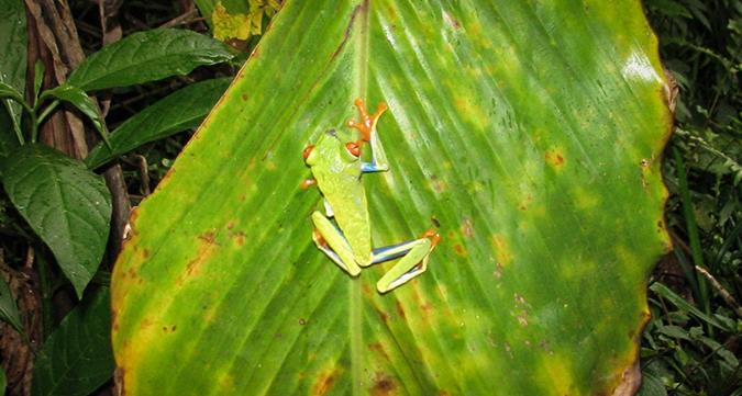צפרדע מיוחדת בלה פורטונה