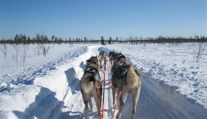 כלבי מזחלות בלפלנד