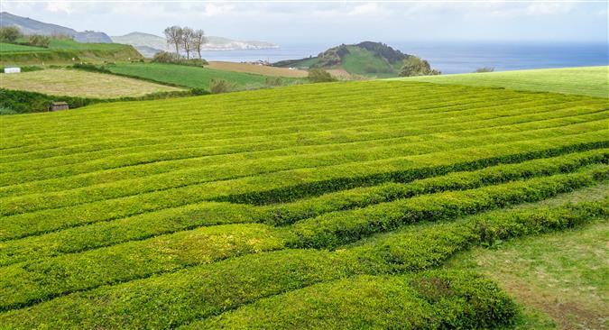 מטעי תה באיים האזוריים