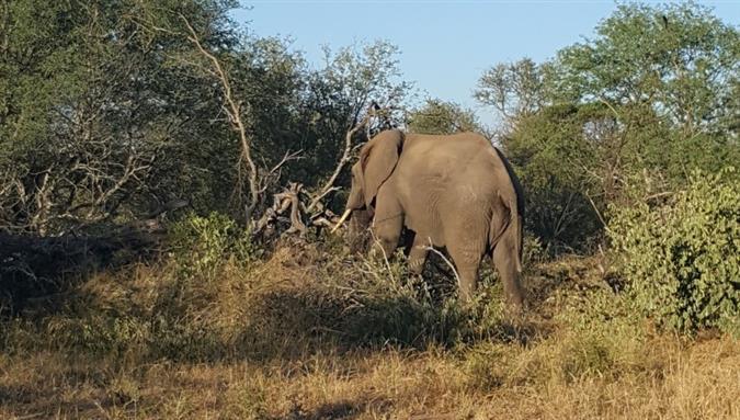 פיל בשמורת קרוגר בדרום אפריקה