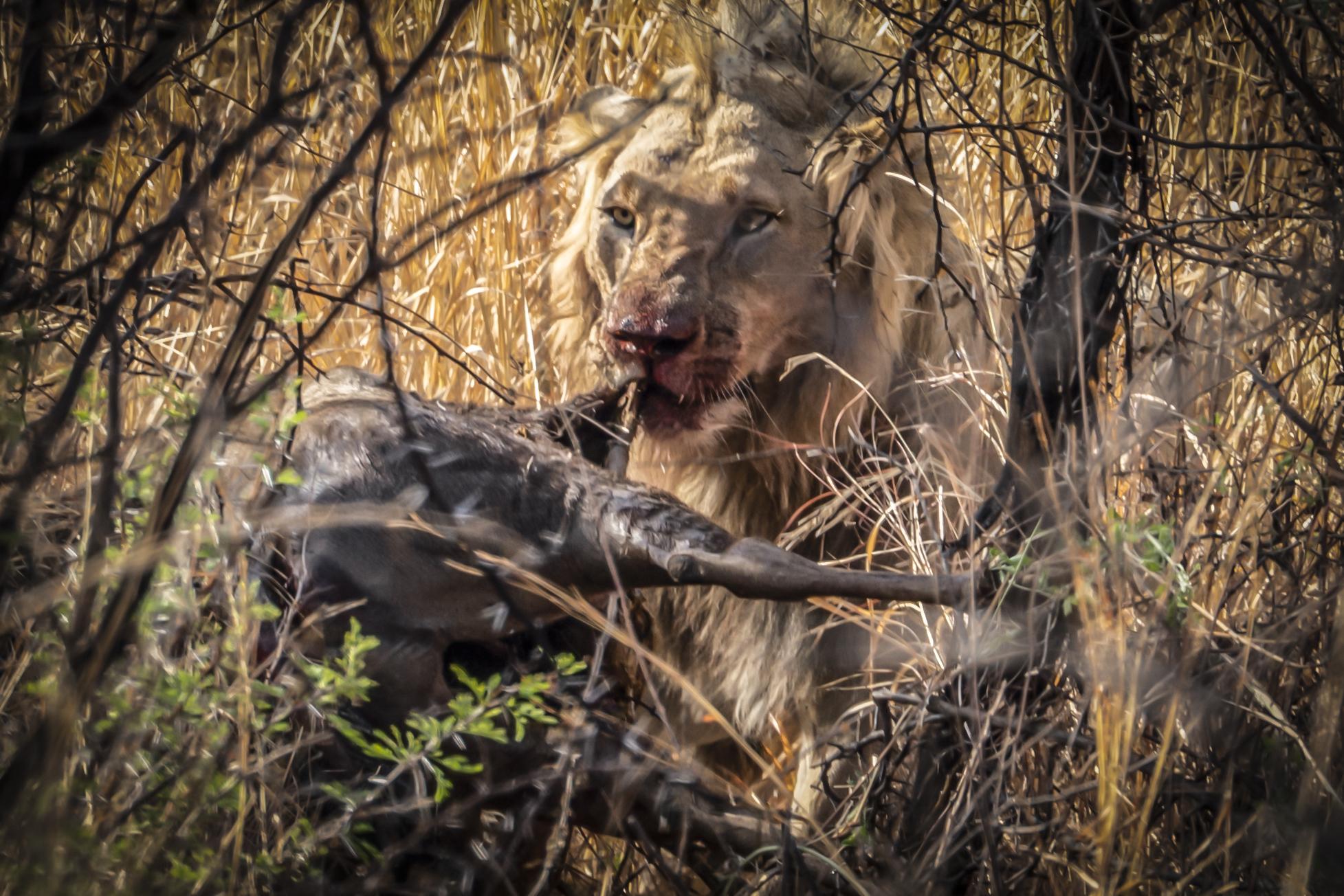 אריה בשמורת פילנסברג