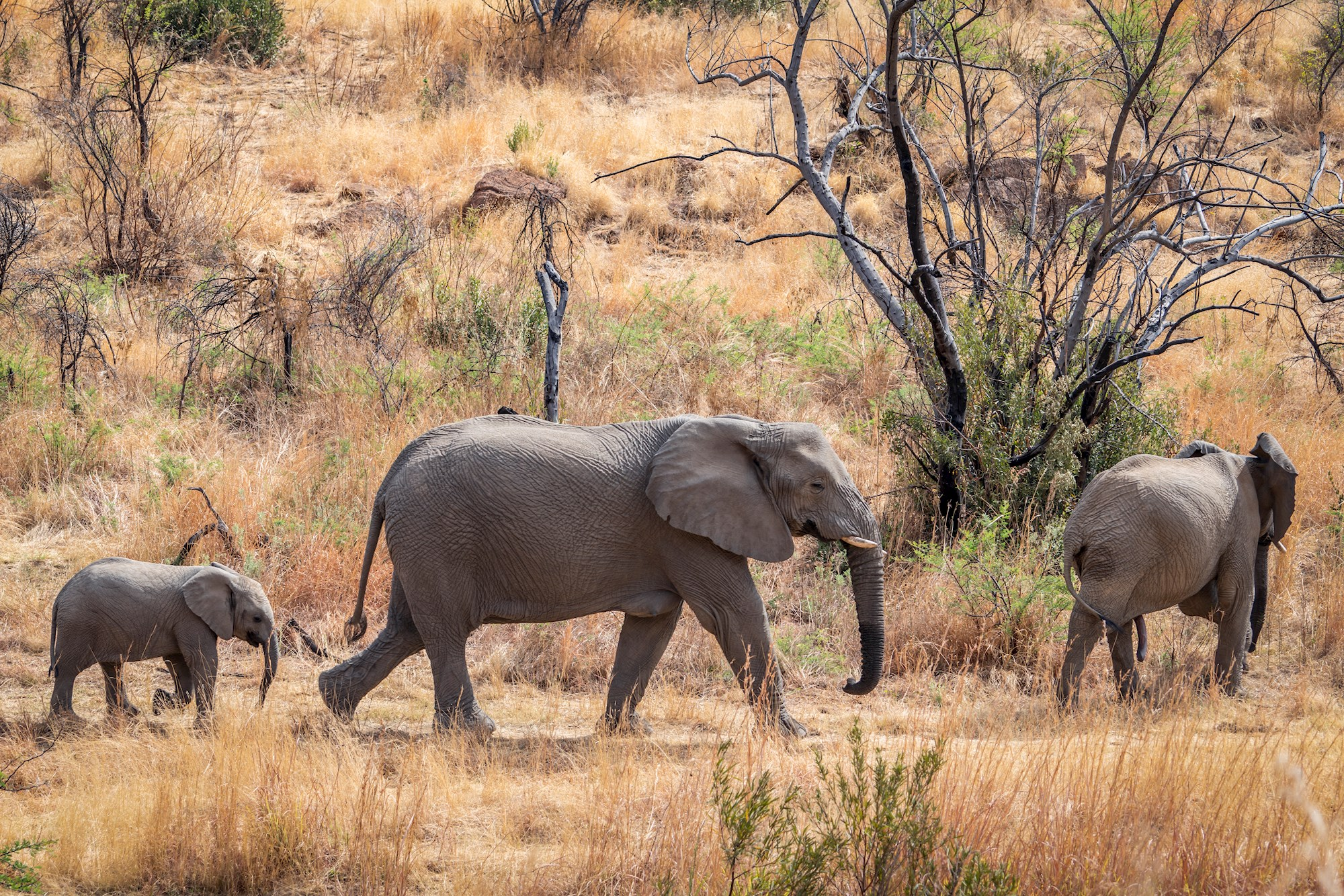 פילים בשמורת פילנסברג