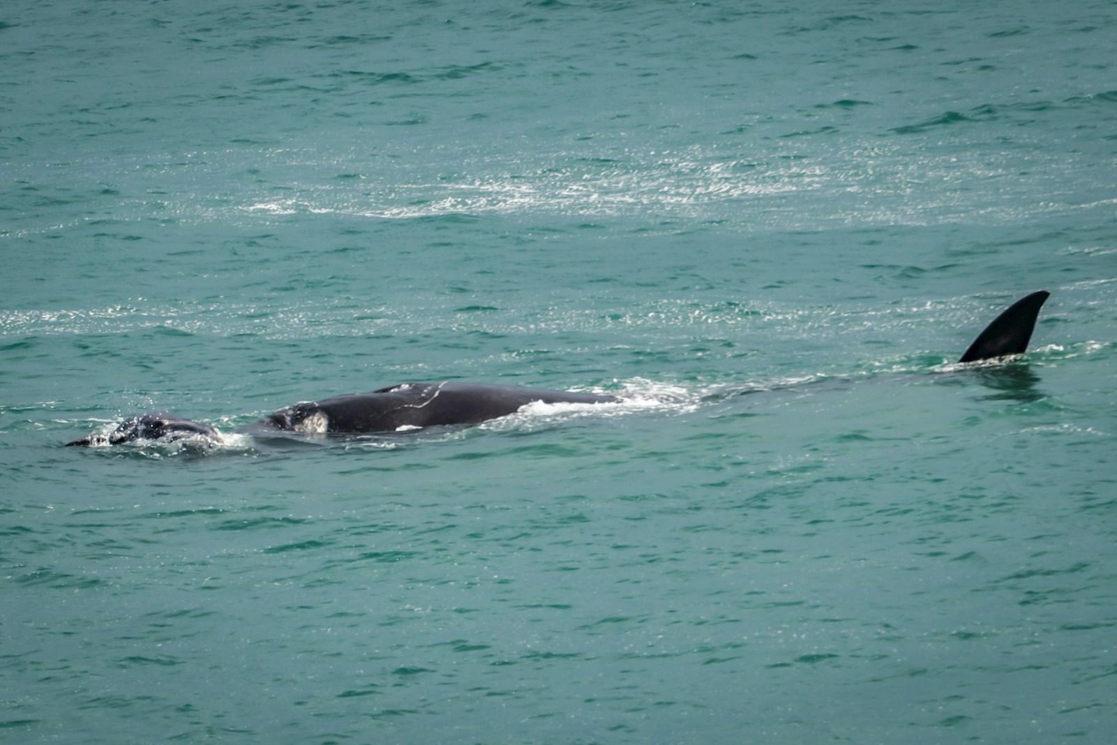 לווייתנים דרום אפריקה