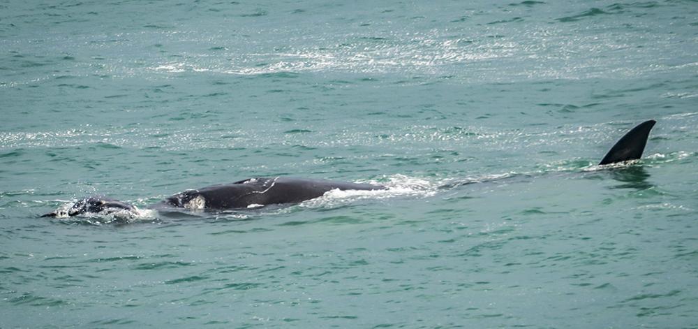 לווייתנים בדרום אפריקה
