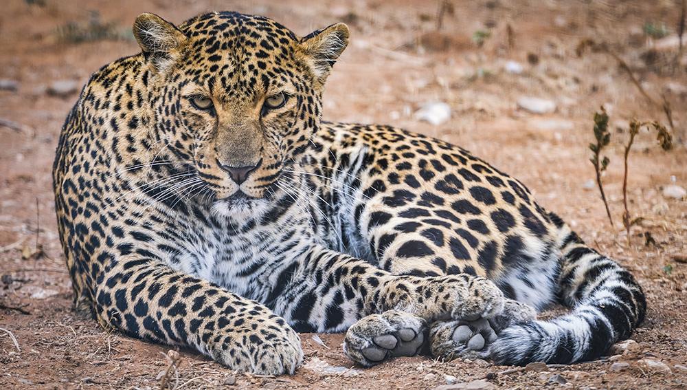 נמר בטבע בדרום אפריקה