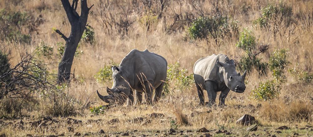 קרנפים בשמורת פילנסברג בדרום אפריקה
