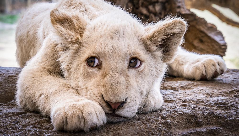 גור אריות בדרום אפריקה