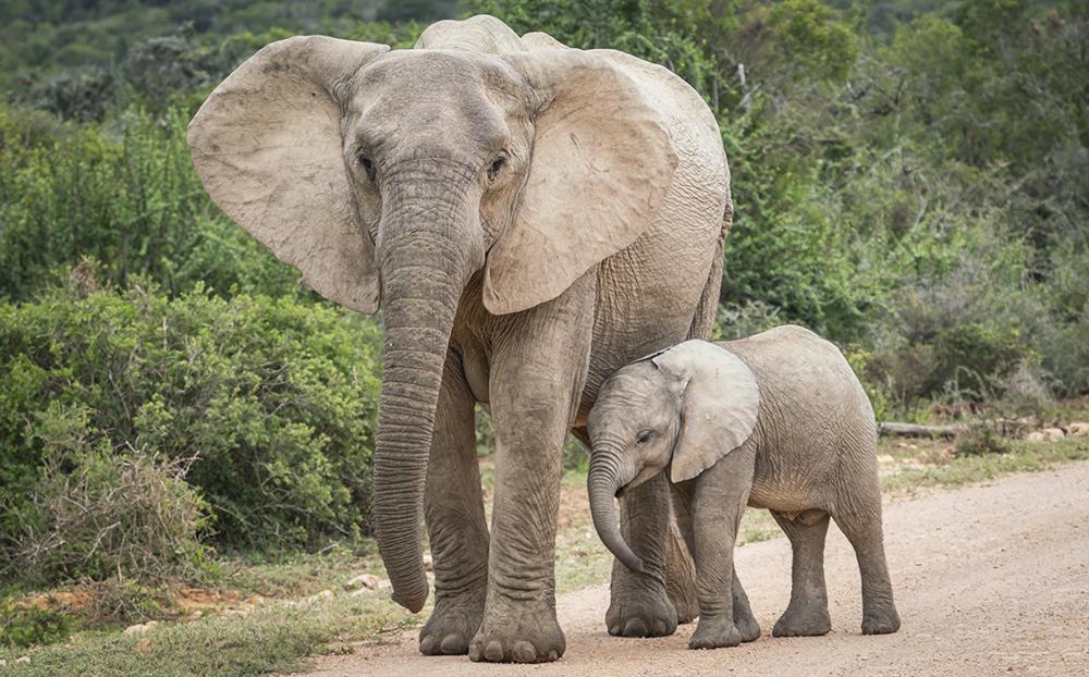 פארק הפילים אדו בדרום אפריקה