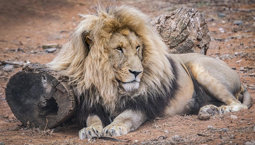 אריה בסוואנה בדרום אפריקה